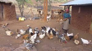 Farmer In Kenya's Tharaka-Nithi County Feeding Her Chickens - YouTube Sulmtaler Genfire Farms Backyard Designer Chickens Poultry Farming Raithe Raju Cvr Health Youtube Caes Newswire Ammonia Ruced In Poultry Bedding Manure Kuroiler Chicken Backyard Do I Need To Be Worried About Bird Flu My Kuroilers Released And Feeding The Beauty Of Farming How Start Raising 7 Simple Steps Wholefully Godavari Farm Agricultureinformationcom Srinidhi Breeds Paadi Pantalu Raise Egglaying