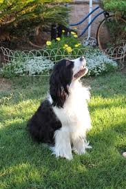 Springer Spaniel Shed Hunting by Sweet Magnolias Farm The Flossie Chronicles Sweet Happy And So