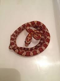 Corn Snake Shedding Time by Beautiful Baby Corn Snakes Egham Surrey Pets4homes