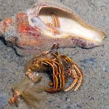 Do Hermit Crabs Shed by Hermit Crabs Anomura On The Shores Of Singapore