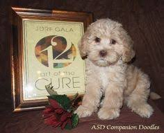 my cavoodle creatures great and small pinterest poodle