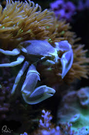 Decorator Crabs Reef Safe by 202 Best Crabs Images On Pinterest Lobsters Crabs And Ocean Life
