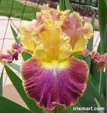 bearded iris high master iris germanica iris