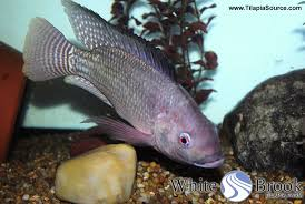 Bluetilapia Wb White Brook Strain Nile