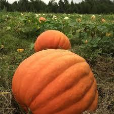 Pumpkin Patch Durham North Carolina by 10 Fall Date Ideas Under 20 Corn Mazes Pumpkin Patches U0026 More
