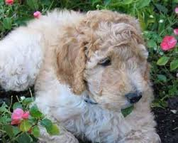 Large Non Shedding Dogs Pictures by Goldendoodle Goldendoodle Puppies Toronto Non Shedding Black