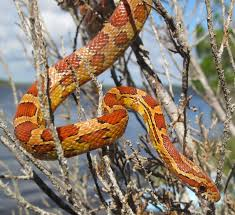 Corn Snake Shedding Too Often by Life Is Short But Snakes Are Long 2013