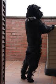 Do Giant Schnauzer Dogs Shed Hair best 25 giant schnauzer ideas on pinterest mini schnauzer