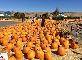 South San Jose Pumpkin Patch by Cycling California Lots Of Pumpkins In South San Jose U2014 Steemit