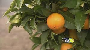 Pumpkin Patch Fresno Ca News by Citrus Harvest Underway In Fresno County Abc30 Com