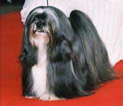 Lhasa Apso Poodle Mix Shedding by Lhasa Apso Our Dogs And Us