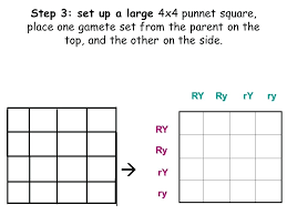 Printable Punnett Square Worksheets Worksheet For All Download And Share Free On