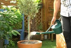 comment installer un olivier en pot sur une terrasse