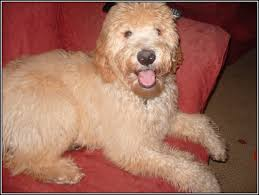Hypoallergenic Dog Breeds That Dont Shed by Big Dogs That Don T Shed Or Drool Best Dog 2017