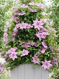 Pot Plants For The Bathroom by How To Grow Flowering Vines In Containers Hgtv