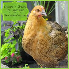 The Chicken Chick®: Chickens & Obesity, The Silent Killer: How To ... 721 Best Chickens Ducks Images On Pinterest Keeping Your Healthy Backyard The Chicken Chick Salpingitis Lash Eggs In Backyard Vignette Design Design Bucket List 4 10 Things Ive Learned In My First Year Of Having Benefits Urban Farming Raising 3 Steps With Pictures Hipster Easter Here Are Some Organic Soyfree Naturally Flystrike Causes Back Juan Manuel Malnado Predators Myth Supervised