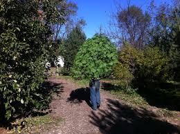 Silver Tip Christmas Tree Sacramento by Forest For The Tree Jacob Mini Farm Farmophile
