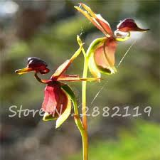australian flying duck blue gold orchid seed 50 grains package