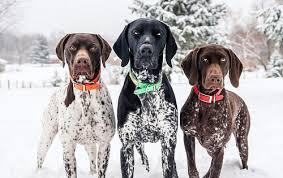 Griffon German Wirehaired Pointer Shedding by German Shorthaired Pointer Information Dog Breed Atlas