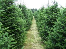 Pinecrest Christmas Tree Farm by Very Attractive Evergreen Christmas Tree Farm Nobby Forest View