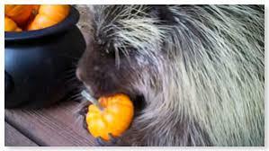 Porcupine Eats Pumpkin by Teddy The Porcupine Or Cousin It