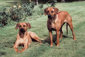 Do Redbone Coonhounds Shed by My Rhodesian Ridgeback Is Shedding Animals Mom Me