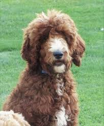 Red White Irish Setter Shedding by Toodles Doodles Golden Doodles And Irish Doodles Irish Doodles