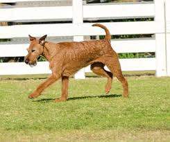Do Airedale Puppies Shed by Irish Terrier Dog Breed Information Pictures Characteristics