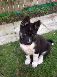 Do Akita Dogs Shed Hair by Huskita Akita Husky Mix Info Temperament Training Puppies