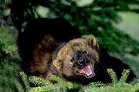 Porcupine Eats Pumpkin by Cartel Poisoned Porcupine Eating Mammal Next On Endangered List