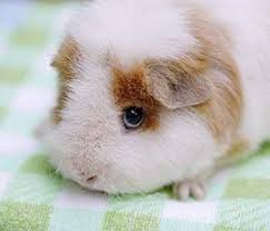 Can Guinea Pigs Eat Salted Pumpkin Seeds by 73 Best Guinea Pigs Images On Pinterest Beautiful Rabbit And