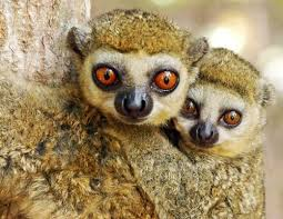Western Woolly Lemur Or Avahi Occidentalis Is A Species Of Native To Madagascar Where They Live In Dry Deciduous