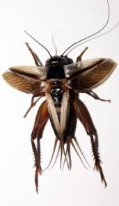 This Is A Flatwing Cricket