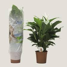 zimmerpflanze einblatt höhe 100 cm