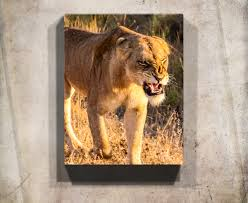 Safari Wildlife Wall Art Print Of An Angry Lioness In South Africa Available On Metal