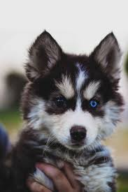 Do Pomskies Shed Fur by 239 Best Siberian Huskies Images On Pinterest Animals Siberian