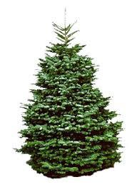 6 7 Ft Noble Fir Christmas Tree Hawaii Trees Wreaths More