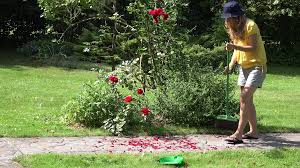 Peasant Worker Woman With Broom Sweeping Fallen Rose Flower Petals ... Garden Eaging Picture Of Small Backyard Landscaping Decoration Best Elegant Front Path Ideas Uk Spectacular Designs River 25 Flagstone Path Ideas On Pinterest Lkway Define Pathyways Yard Landscape Design Ma Makeover Bbcoms House Design Housedesign Stone Outdoor Fniture Modern Diy On A Budget For How To Illuminate Your With Lighting Hgtv Garden Pea Gravel Decorative Rocks