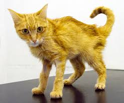 renal failure in cats chronic kidney renal failure