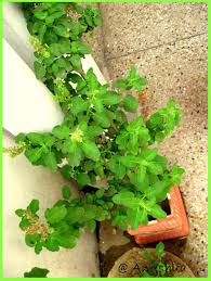 My Tulsi Or Basil Plant In My Backyard !! | Touchtalent - For ... My Backyard Garden Nation Of Islam Ministry Agriculture Super Groovy Delicious Bite Big Lizard In My Back Yard Erosion Under Soil Backyard Ask An Expert I Think Found Magic Mushrooms Wot Do This Video Is Hella Clickbait Youtube Dinosaur Storyboard By 100142802 Holes In The Best Home Design Ideas Cottage Months Ive Been Creating More Garden Rooms Cat Frances Aggarwal Backyards Terrific Rocks And Minerals Tree Growing Started Fruiting Can Someone Id