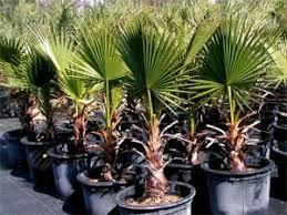 palmier résistant au froid les principaux palmiers rustiques