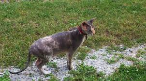 Dogs That Shed The Most Least by 21 Low Shed And Cats That Don U0027t Shed For Easy Grooming Cat