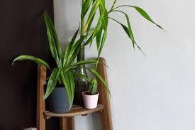 die yucca palme beliebt exotisch pflegeleicht casalist