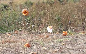 Clarence New York Pumpkin Farm by It U0027s Fall And The Pumpkins Are Flying The Buffalo News