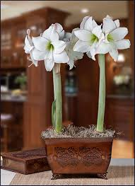 amaryllis picotee duo in an oak and acorn planter free shipping