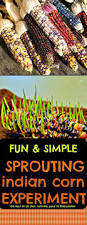 Halloween Picture Books For 4th Grade by Science Experiment Sprouting Indian Corn For Halloween Or