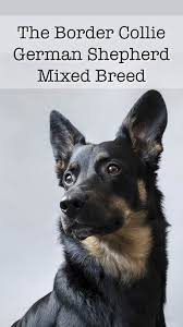 Do Blue Heeler Border Collies Shed by A Complete Guide To The Border Collie German Shepherd Mix