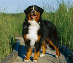 Large Dog Breeds That Dont Shed by The 10 Most Badass Dog Breeds