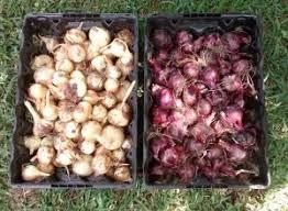 growing bulbing onions quality feed garden company
