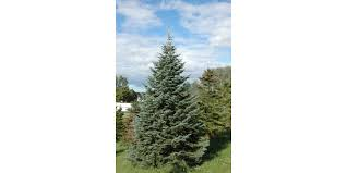 Christmas Trees Types by Christmas Trees For Connoisseurs Morning Ag Clips